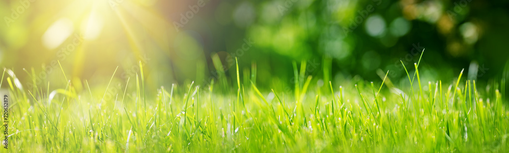 Fototapety, obrazy: Fresh green grass background in sunny summer day in park