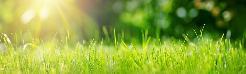 Fresh green grass background in sunny summer day in park