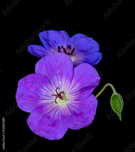 Foto op Canvas Bloemen Fine art still life color floral image of a pair of violet blue isolated wide open violet blooming male and female geranium/cranesbill flowers and bud,black background,vintage painting style