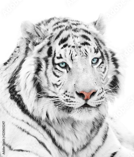 Beautiful white tiger isolated on white background