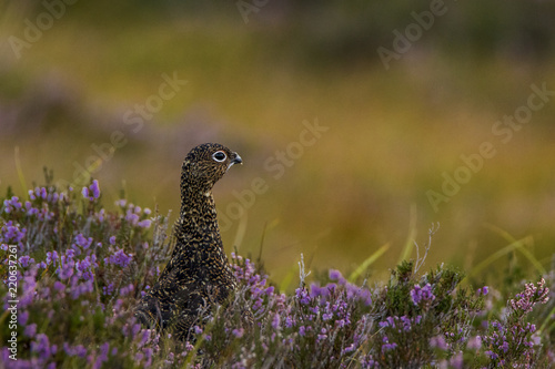 Fotografie, Tablou red grouse in amongst heather