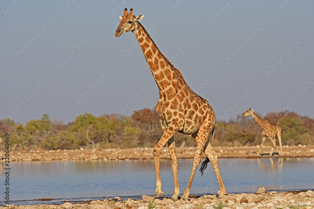 Giraffen (giraffa camelopardalis)  am Wasserloch Klein-Namutoni im Etosha Nationalpark (Namibia)