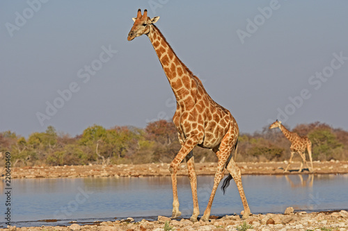 Fotobehang Giraffe Giraffen (giraffa camelopardalis) am Wasserloch Klein-Namutoni im Etosha Nationalpark (Namibia)