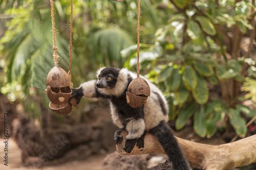 Foto op Plexiglas Aap Black-Tailed Lemur in Fuerteventura, Canary Islands, Spain