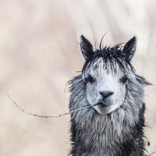 Alpaka Blickt In Kamera Und Kaut Auf Ast