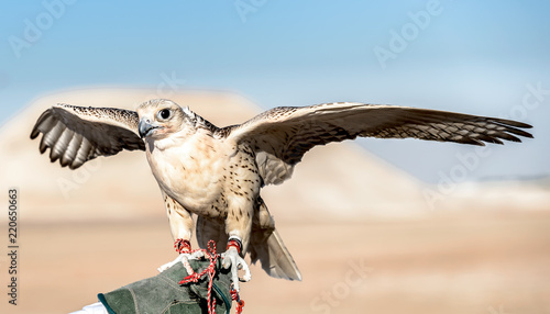 Photo Falcon Training in Gulf area, Abu Dhabi, UAE.