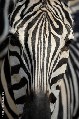 Recess Fitting Close-up of head details African striped coat zebra