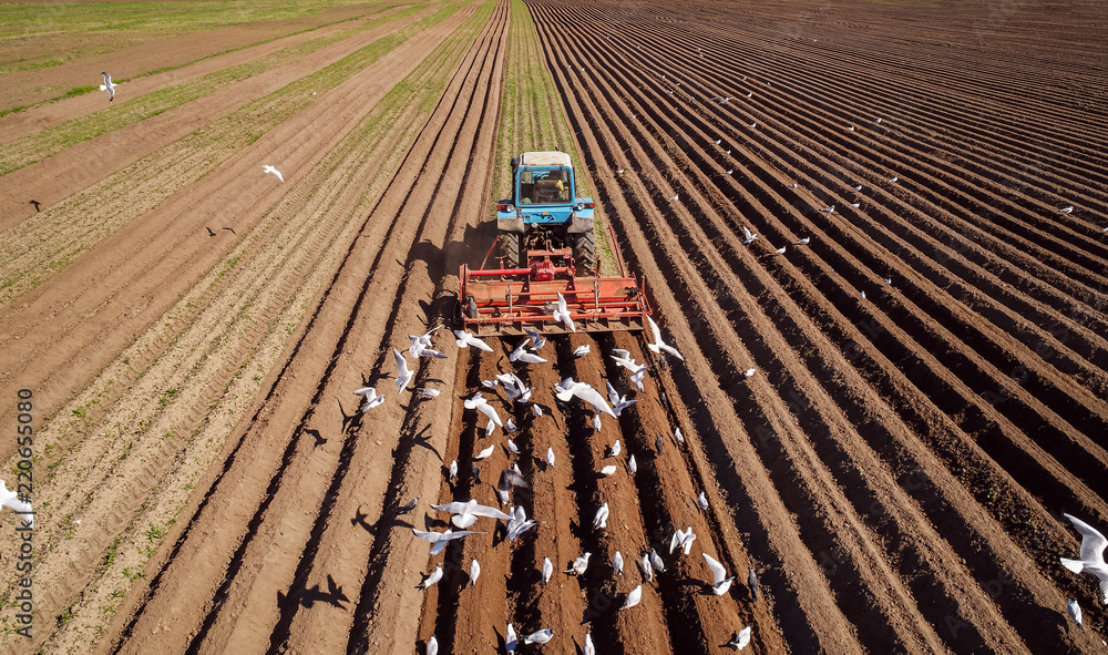 Fototapeta Agricultural work on a tractor farmer sows grain. Hungry birds are flying behind the tractor, and eat grain from the arable land.