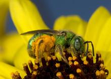 Small Metallic Sweat Bee.