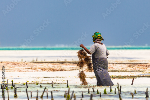 Printed kitchen splashbacks Zanzibar Woman working in sea weed plantation. Paje, Zanzibar, Tanzania.