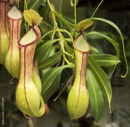 Cuadros en Lienzo  Pitcher plant (Nepenthes veitchii x stenophylla), a natural hybrid