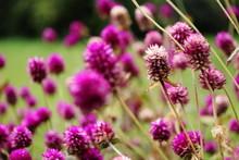 Amaranthaceae - Echter Kugel-Amaranth
