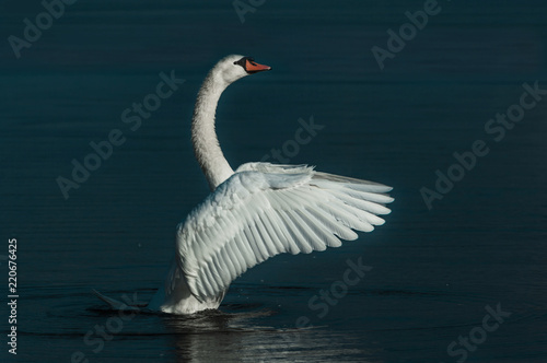 Foto op Canvas Zwaan A Swan flapping his Wings elegantly on a Lake