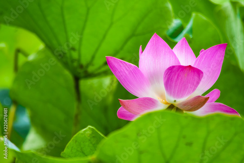 Foto op Plexiglas Lotusbloem beautiful Red or pink Lotus Flower or water lily growing in tropical thailand country with background nature,symbol of the Buddha and copy space.