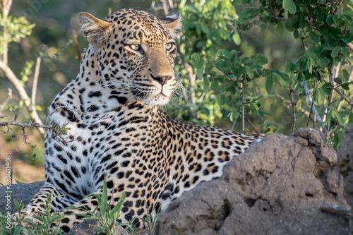 Tuinposter Luipaard Kruger Park Leopard