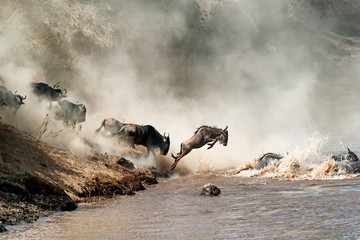 Wildebeest Leaping in Mid-A...