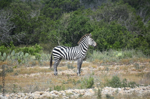 Photo  close up of a zebra in the wild