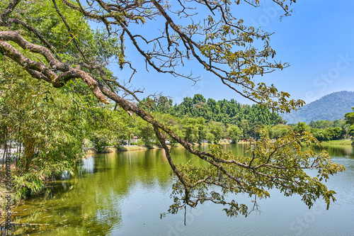 Old tree with long branches along Taiping Lake Gardens or Taman Tasik, Malaysia