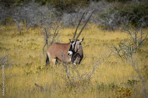 Foto op Aluminium Antilope Oryx Antilope
