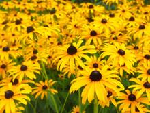 Rudbeckia (Black Eyed Susan) Flowers Growing In Garden
