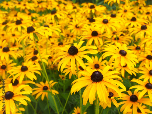 Rudbeckia Posters Wall Art Prints Buy Online At Europosters