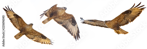 Foto auf Leinwand Vogel Set of Buzzard in flight isolated on white (Buteo rufinus)