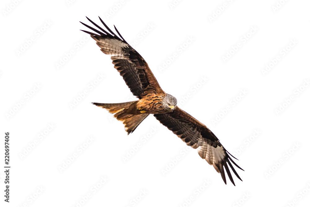 Fotografie, Obraz Rotmilan schaut im Flug nach unten