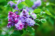 Purple lilac flowers. Spring blossom. Selective focus.