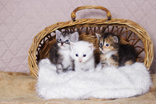 Maine Coon Kitten In A Basket