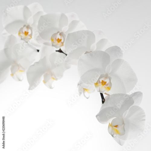 biały storczyk na białym tle - 220698448