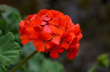 Red Geranium Flowers In A Summer Garden. Blooming Pelargonium.Garden Plants Concept.Selective Focus.