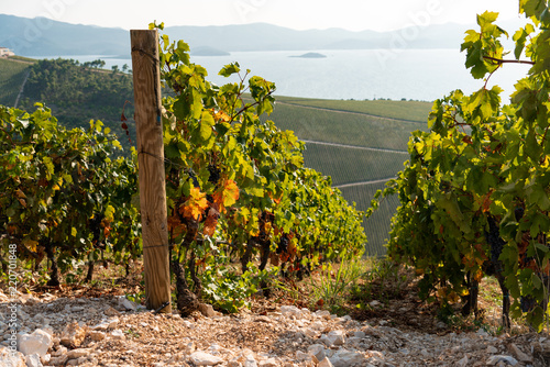 Fotografia  Vineyard on the mountain. Wine making industry