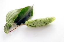 Green Leaves And Seeds Of Horn...