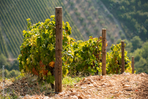 Staande foto Wijngaard Vineyard on the mountain. Wine making industry