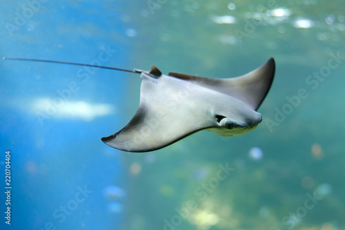 Photo  Stingray swimms under blue water