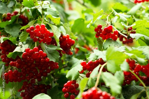 Photo Hawthorns - Crataegus are among medicinal plants containing Flavonoids, otherwise called bioflavonoids or vitamin P