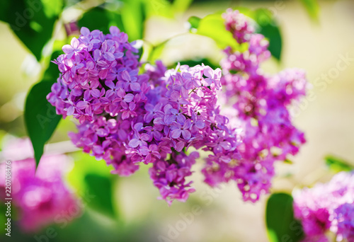Purple lilac flowers in the garden. Selective focus.