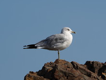 Seagull On Rock Against Clear Blue Sky