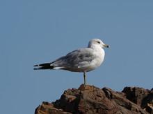 Seagull On Rock Against Clear Blue Sky