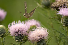 White-lined Sphinx Moth (Hyles Lineata) Feeding On Tall Thistle In Guthrie Center, Iowa