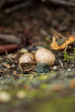 Two Tiny Brown Mushrooms On The Ground In The Shade.