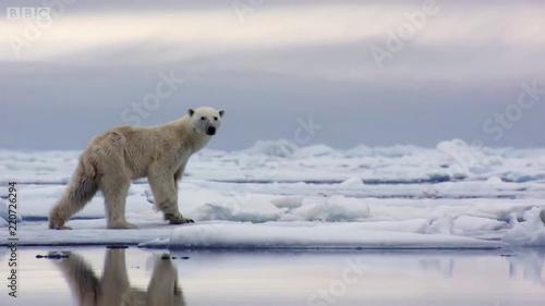 Obraz na płótnie bear polar arctic