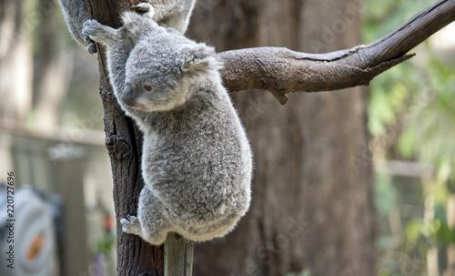 Fotobehang Koala joey koala