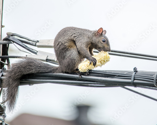 Spoed Foto op Canvas Eekhoorn Corn on the Cob for an Agile Squirrel