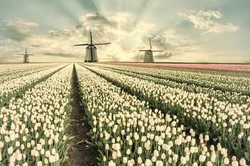Fototapeta Vintage Vintage landscape with tulip fields and windmill