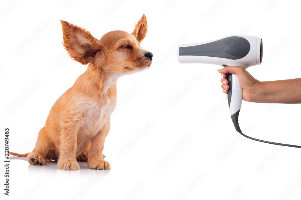 Cocker Spaniel Puppy getting his fur dried with a blower, isolated on white