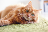 Fototapeta Koty - Portrait of a funny beautiful red fluffy cat with green eyes in the interior, pets