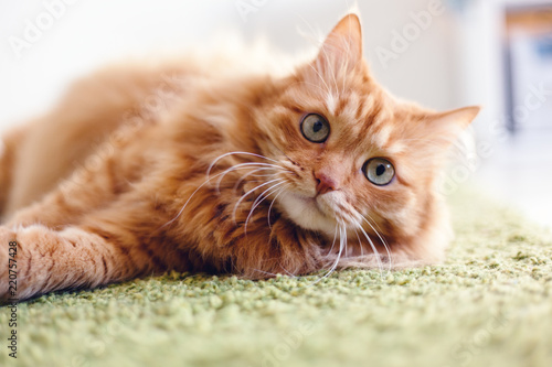 Slika na platnu Portrait of a funny beautiful red fluffy cat with green eyes in the interior, pe