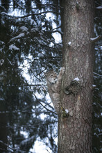 Close Up Eurasian Lynx Lynx Lynx Climbing On Tree In Winter Forest