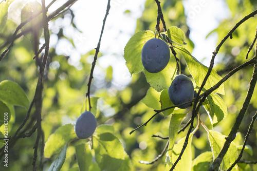 Plum ripe on a tree.